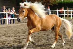 cavallo aveglinese