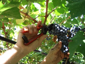viticoltura-fieragricola